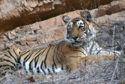 Indien Rundreise Nationalparks-tiger